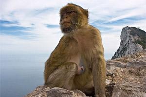 gibraltar_monkey_4